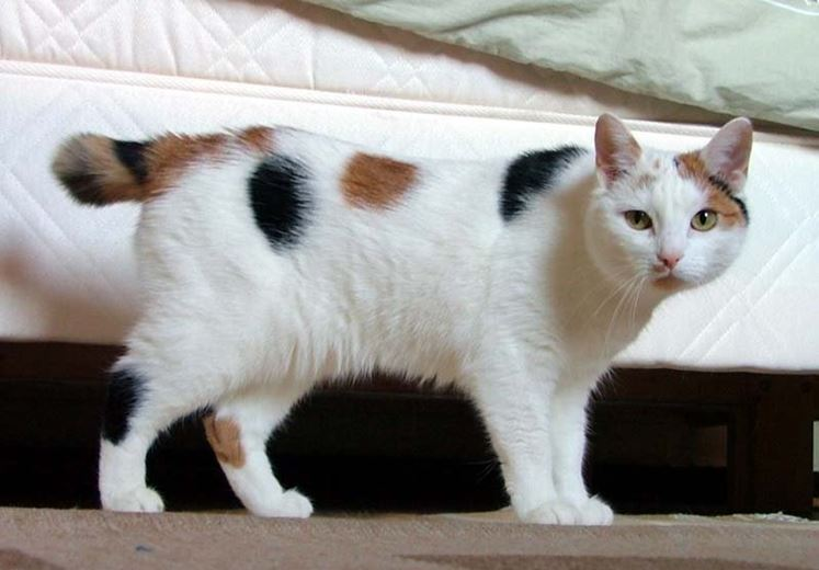 japanese bobtail looking like manx